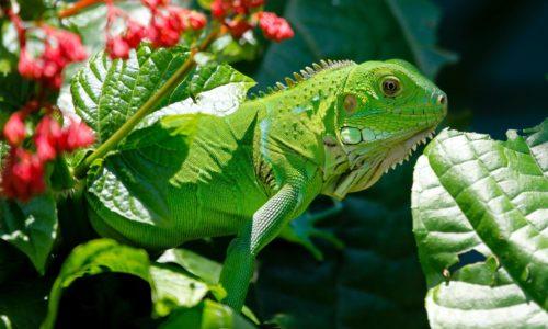 PW – Une liste positive pour la détention des reptiles en Wallonie