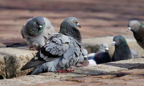 PW – La régulation des pigeons en centre urbain, une question de bien-être animal